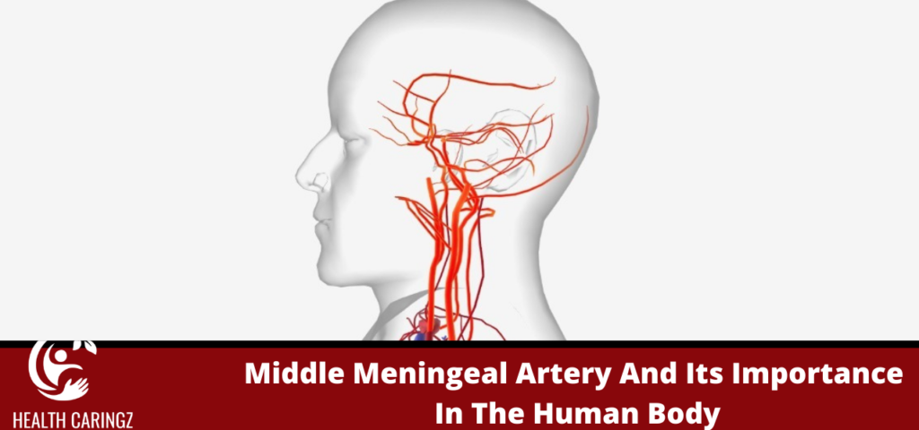 Middle Meningeal Artery And Its Importance In The Human Body
